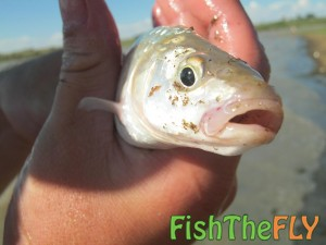 Juvenile Largemouth Yellowfish