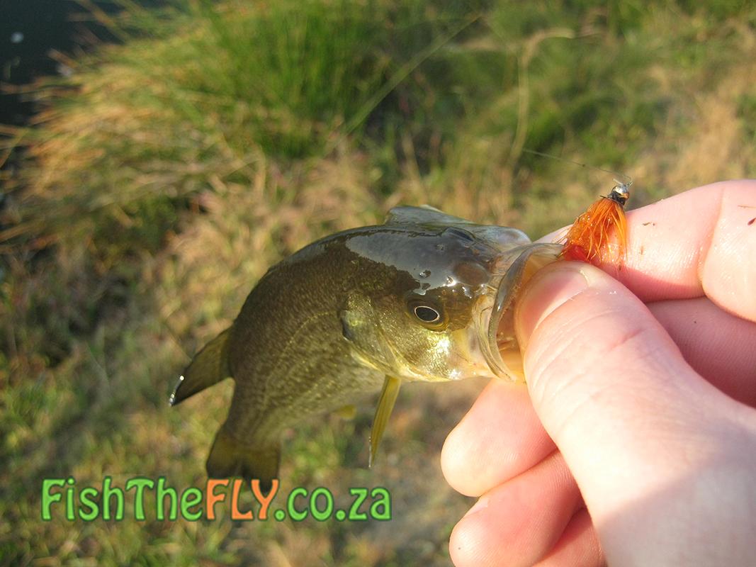 Gauteng bass fishing fly fishing for largemouth bass for Largemouth bass fly fishing