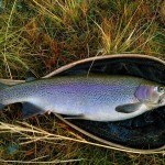 Millstream Rainbow Trout