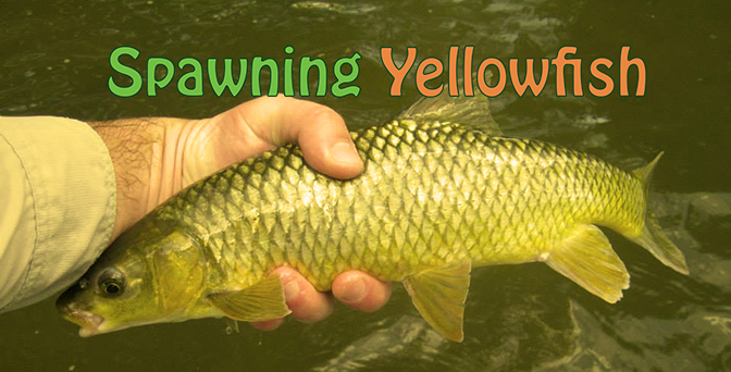 Yellowfish Spawning