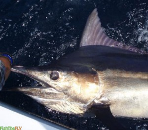 Catching Marlin And Billfish On Fly