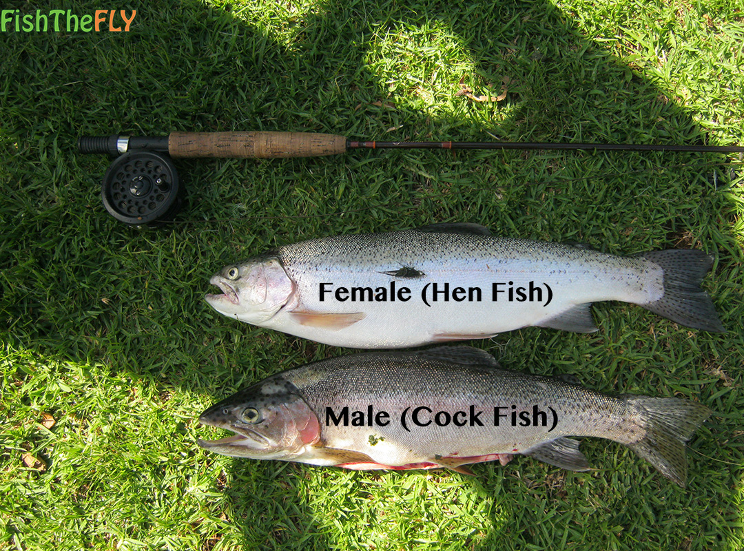 Telling the difference between male and female trout for How to fish trout