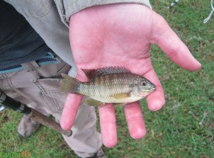 Banded Tilapia Caught On Fly