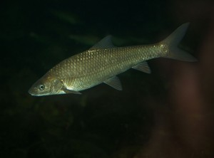 Berg-Breede River Cape Whitefish Barbus andrewi