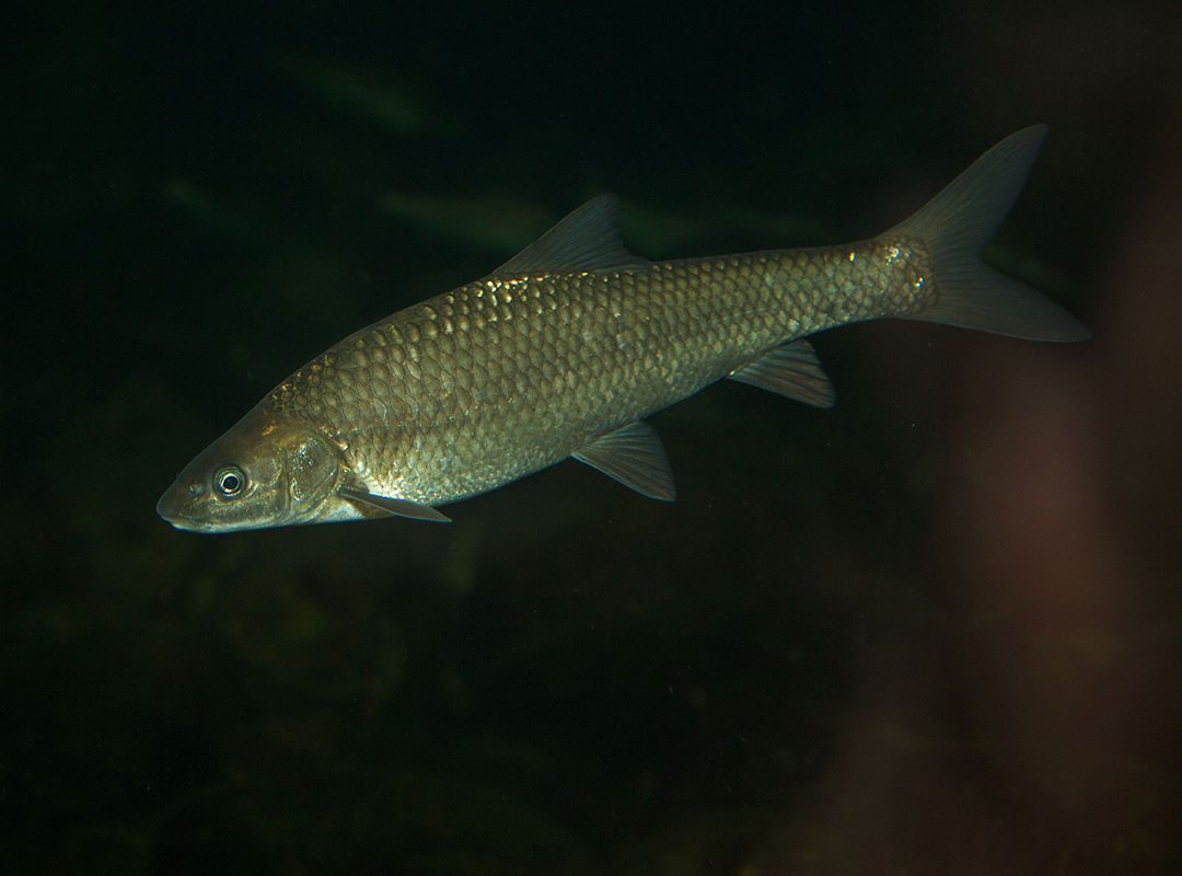 Berg breede river whitefish cape whitefish on fly for Colorado fish species