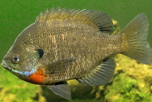 Male Breeding Bluegill Sunfish
