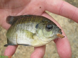 Bluegill Sunfish Caught On A Nymph