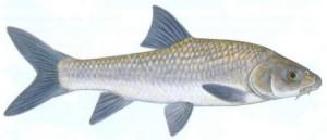 Bushveld Smallscale Yellowfish