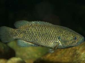 Cape Kurper Sandelia capensis
