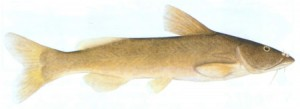 Common Rock Catfish (Austroglanis sclateri)