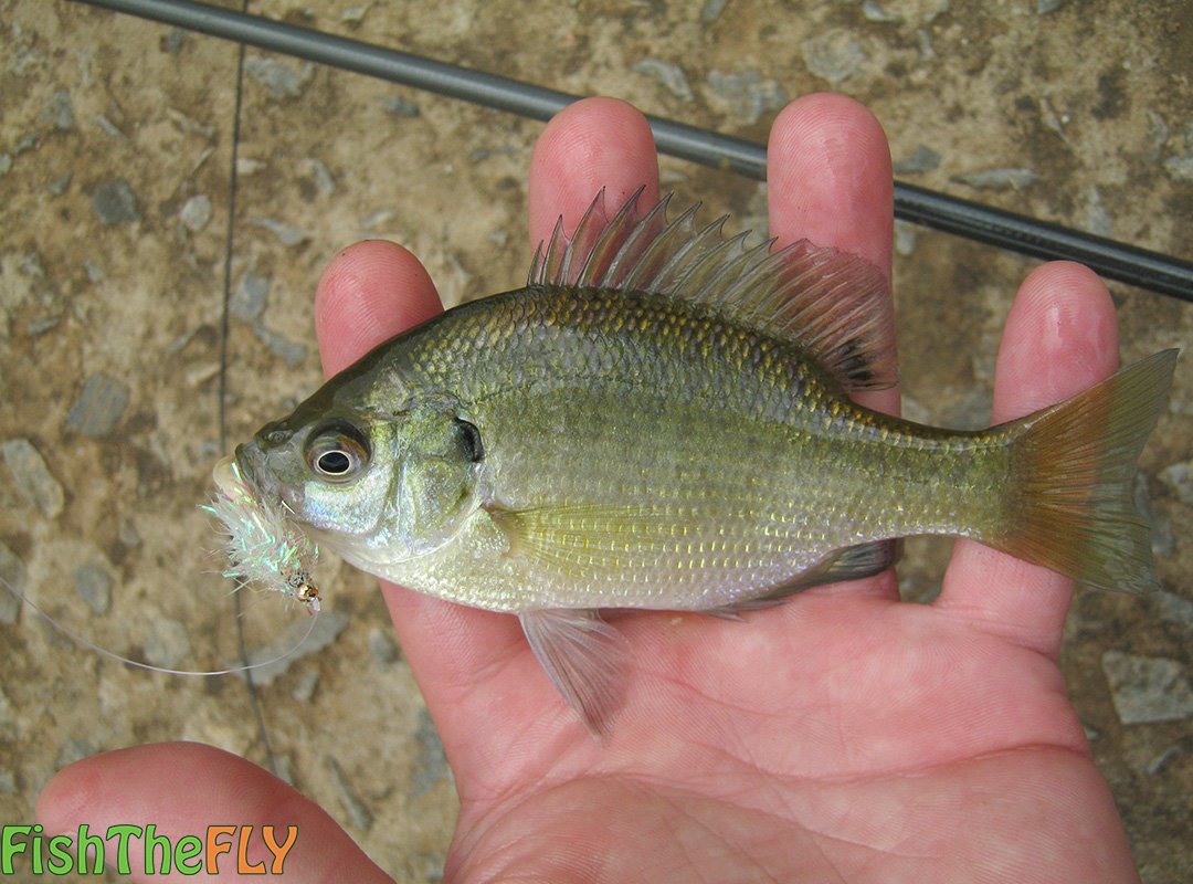 fly fishing for the bluegill sunfish fish the fly