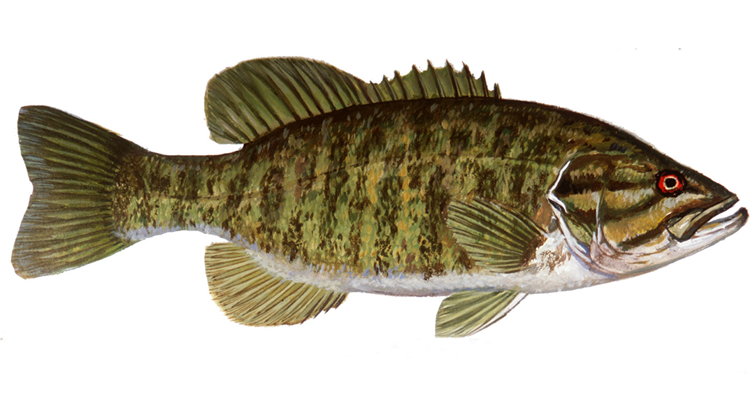 Smallmouth bass drawings images for How to fly fish for bass