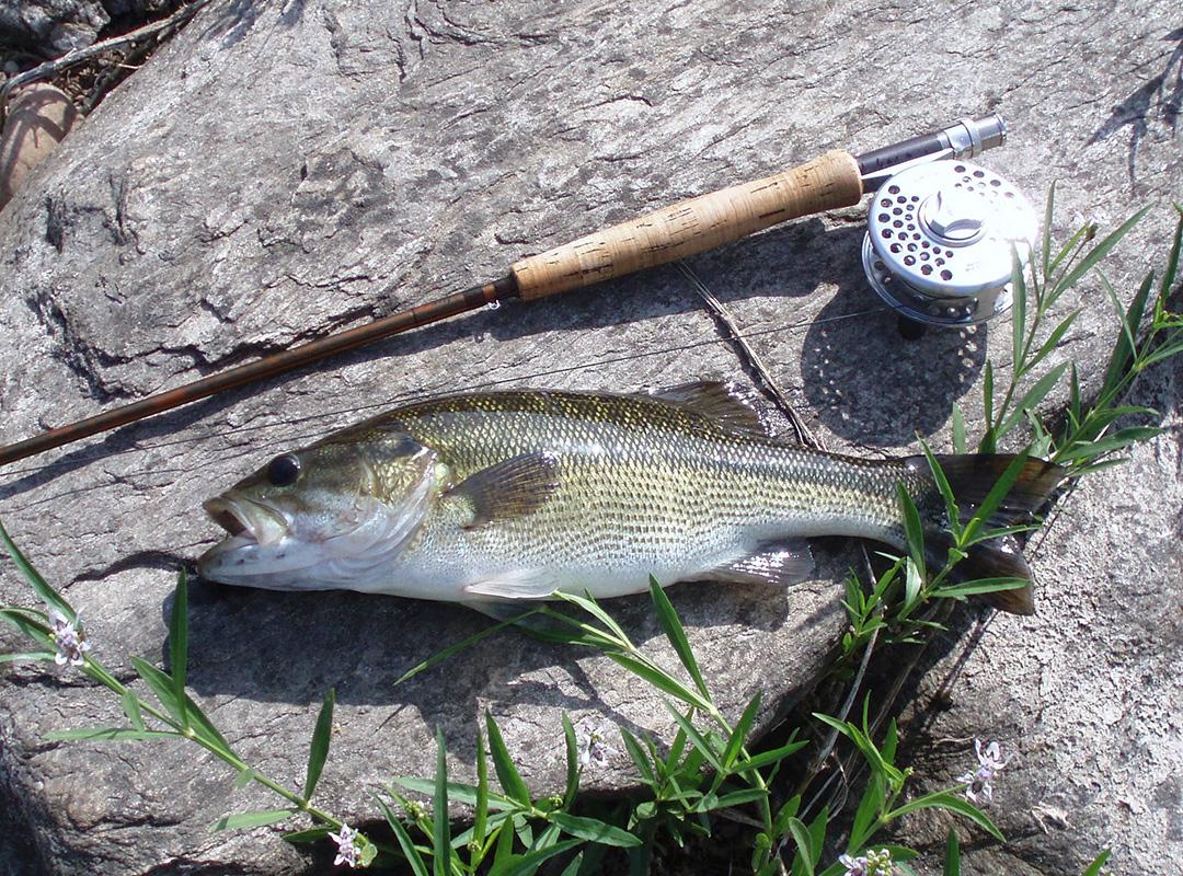 Fly fishing for spotted bass in south africa fish the fly for How to fly fish for bass