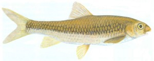 Incomati Chiselmouth (Varicorhinus nelspruitensis)