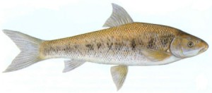 The Moggel Mudfish