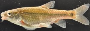 Verlorenvlei Redfin Pseudobarbus verloreni