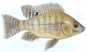 Nile Kurper (Niloticus niloticus)