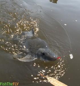 Orange River Mudfish