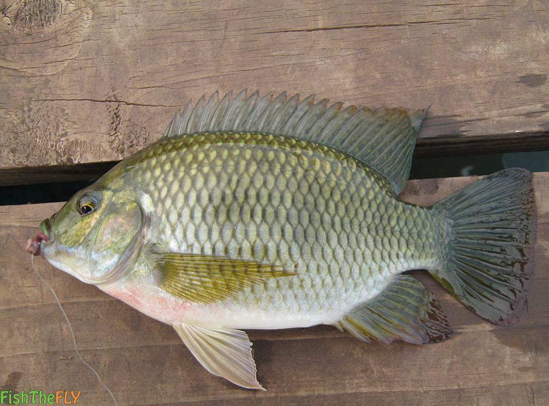 Fly fishing for the redbreast kurper redbreast tilapia for Fishing for tilapia