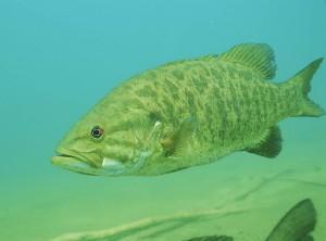 Smallmouth Bass Fly Fishing