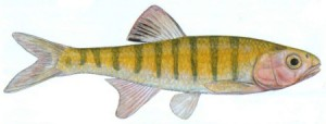 Southern Barred Minnow Illustration