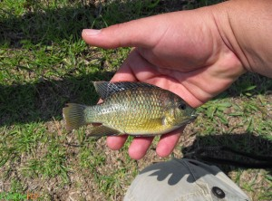 Vlei Kurper (Banded Tilapia) On Fly