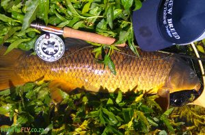 Common carp caught at Bloemhof on fly