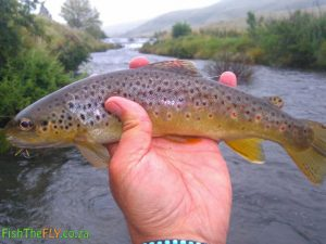 Brown Trout caught in wild stream