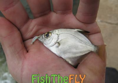 Cape Moony - Gully Fly