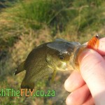 Bass Caught Fly Fishing