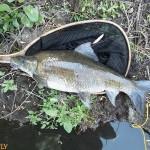 Fly Fishing For Big Mudfish
