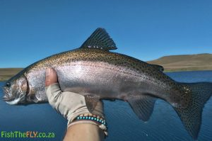Good size Rainbow Trout